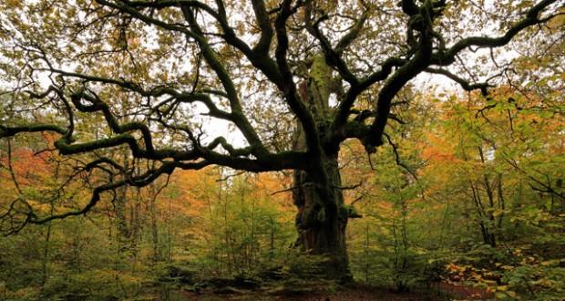 Urwald Sababurg nature reserve near Hofgeismar, Hesse, Germany. Image: SuperStock